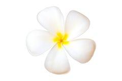 Λουλούδι ή Plumeria Frangipani Στοκ Εικόνες