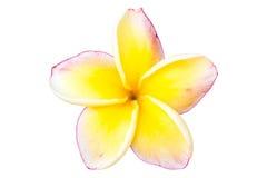 Λουλούδι ή Plumeria Frangipani Στοκ Φωτογραφίες