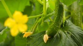 Λουλούδι αγγουριών και φρούτα του αγγουριού φιλμ μικρού μήκους