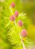 Λουλούδι αγριόπευκων Στοκ φωτογραφία με δικαίωμα ελεύθερης χρήσης