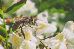 Λουλούδι ακακιών με τη μέλισσα στην εργασία στοκ εικόνες