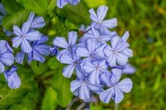 Λουλούδι ακρωτηρίων leadwort (άσπρο plumbago  Plumbago) Στοκ Εικόνες