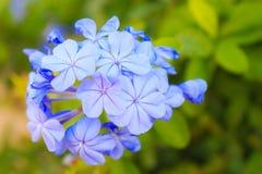 Λουλούδι ακρωτηρίων leadwort Στοκ Φωτογραφίες
