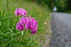 Λουλούδι ακρών του δρόμου Στοκ εικόνες με δικαίωμα ελεύθερης χρήσης