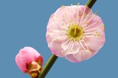 Λουλούδι δαμάσκηνων Στοκ Εικόνα