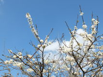 Λουλούδι δαμάσκηνων Στοκ εικόνα με δικαίωμα ελεύθερης χρήσης