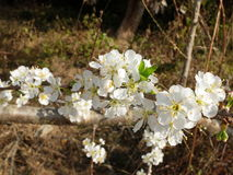 Λουλούδι δαμάσκηνων Στοκ φωτογραφία με δικαίωμα ελεύθερης χρήσης
