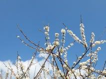Λουλούδι δαμάσκηνων Στοκ εικόνες με δικαίωμα ελεύθερης χρήσης