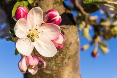 Λουλούδι δαμάσκηνων Στοκ Φωτογραφίες