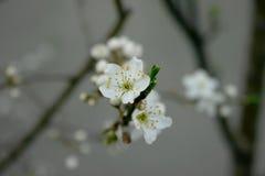 Λουλούδι δαμάσκηνων Στοκ Εικόνες