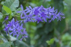 Λουλούδι αμπέλων Petrea στοκ φωτογραφίες με δικαίωμα ελεύθερης χρήσης