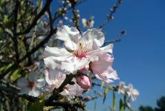 Λουλούδι αμυγδάλων Στοκ Εικόνες