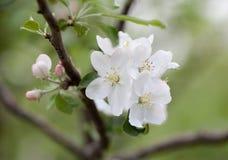 Λουλούδι ανθών δέντρων μηλιάς άνοιξη Στοκ εικόνες με δικαίωμα ελεύθερης χρήσης