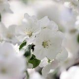 Λουλούδι ανθών κερασιών - φωτογραφία αποθεμάτων Στοκ Εικόνα