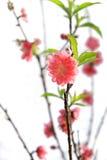 Λουλούδι ανθών ροδάκινων Στοκ Εικόνες