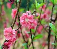 Λουλούδι ανθών ροδάκινων Στοκ εικόνες με δικαίωμα ελεύθερης χρήσης
