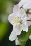 Λουλούδι ανθών της Apple Στοκ Εικόνες