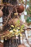 Λουλούδι ανθών του robusta roxb Shorea Στοκ φωτογραφία με δικαίωμα ελεύθερης χρήσης