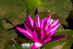 Λουλούδι ανθών λωτού Beautyful και εγκαταστάσεις μελισσών Στοκ εικόνα με δικαίωμα ελεύθερης χρήσης