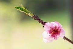 Λουλούδι ανθών στοκ εικόνα