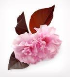 Λουλούδι ανθών Cerry Στοκ Εικόνα