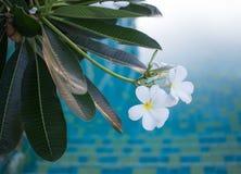 Λουλούδι ανθών Plumeria Στοκ φωτογραφία με δικαίωμα ελεύθερης χρήσης