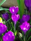 Λουλούδι ανοίξεων κρόκων Στοκ Φωτογραφία