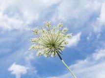 Λουλούδι δαντελλών βασίλισσας Anne's ενάντια σε έναν μπλε θερινό ουρανό Στοκ Φωτογραφίες