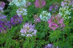 Λουλούδι αραχνών Στοκ φωτογραφίες με δικαίωμα ελεύθερης χρήσης