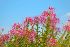 Λουλούδι αραχνών στοκ φωτογραφία