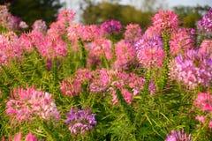 Λουλούδι αραχνών στοκ φωτογραφία με δικαίωμα ελεύθερης χρήσης