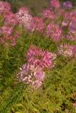 Λουλούδι αραχνών στοκ φωτογραφίες