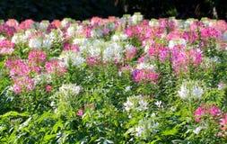 Λουλούδι αραχνών Στοκ Εικόνες