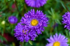 Λουλούδι αστέρων Στοκ εικόνα με δικαίωμα ελεύθερης χρήσης