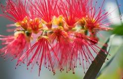 Λουλούδι αυστραλιανό Callistemon άνοιξη καπετάνιος Cook Στοκ φωτογραφία με δικαίωμα ελεύθερης χρήσης
