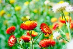 Λουλούδι αχύρου ή λουλούδι συνεχών ή μαργαριτών εγγράφου στον κήπο Στοκ φωτογραφία με δικαίωμα ελεύθερης χρήσης
