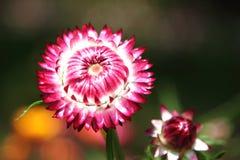 Λουλούδι αχύρου στοκ φωτογραφία με δικαίωμα ελεύθερης χρήσης
