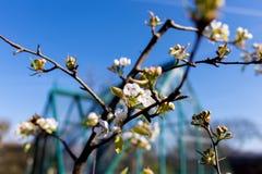 Λουλούδι αχλαδιών Στοκ Εικόνες