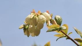 Λουλούδι βακκινίων στην Ιαπωνία απόθεμα βίντεο