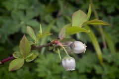 Λουλούδι βακκινίων (corymbosum Vaccinum) Στοκ εικόνες με δικαίωμα ελεύθερης χρήσης
