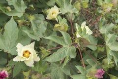 Λουλούδι βαμβακιού, βαμβακόφυτο, οφθαλμός βαμβακιού Στοκ Φωτογραφίες