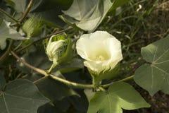 Λουλούδι βαμβακιού σε έναν τομέα Στοκ φωτογραφία με δικαίωμα ελεύθερης χρήσης