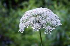 Λουλούδι βασίλισσας Anne ` s δαντέλλα Στοκ Εικόνα