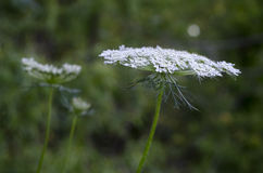 Λουλούδι βασίλισσας Anne ` s δαντέλλα Στοκ Φωτογραφίες
