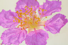Λουλούδι βασίλισσας ` s που απομονώνεται στο άσπρο υπόβαθρο Στοκ φωτογραφία με δικαίωμα ελεύθερης χρήσης