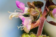 Λουλούδι βασιλικού στοκ εικόνες με δικαίωμα ελεύθερης χρήσης