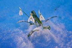 Λουλούδι βαλεντίνων ` s Αγίου Στοκ εικόνα με δικαίωμα ελεύθερης χρήσης