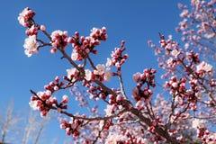 Λουλούδι βερίκοκων Στοκ Εικόνες