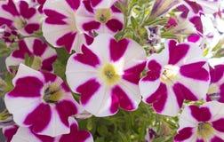 Λουλούδι βουνών Στοκ Εικόνες