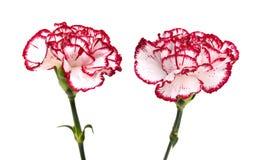 Λουλούδι γαρίφαλων Στοκ φωτογραφία με δικαίωμα ελεύθερης χρήσης